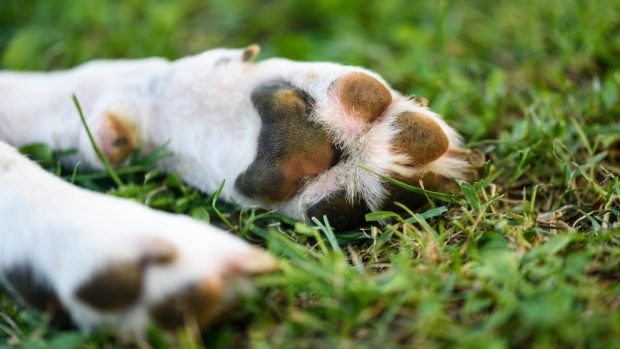 El perro suda por sus patas