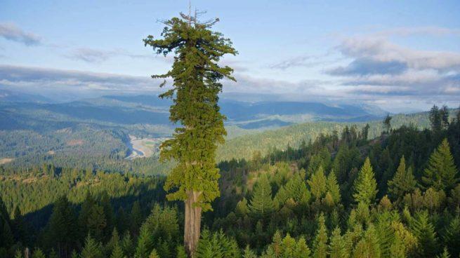 Los 10 árboles Más Altos Del Mundo