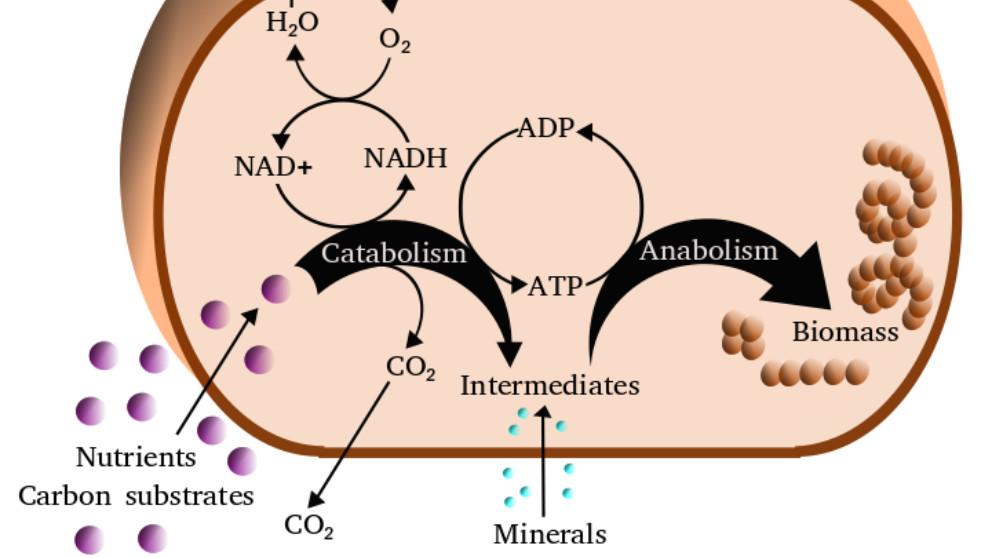 Descubre qué es el metabolismo