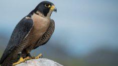 Hay aves que superan los 300 km/h al volar