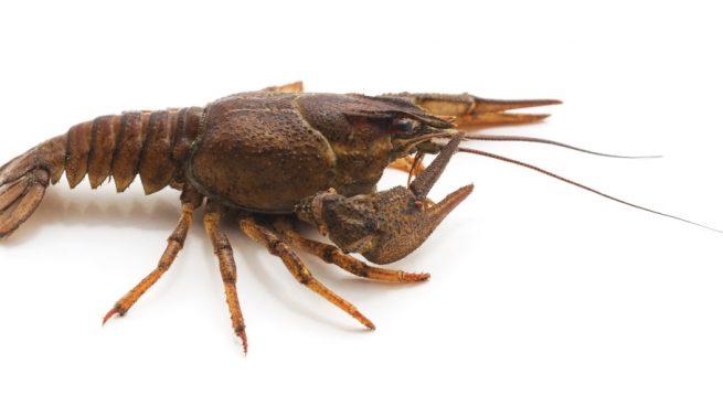 El cangrejo de río