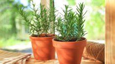 Aprende cómo cultivar una planta de romero