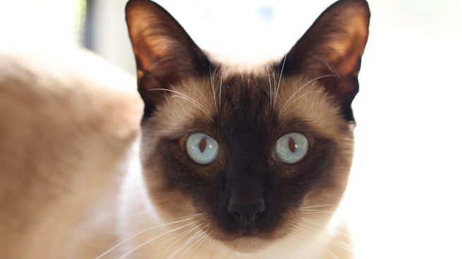 El gato tonkinés