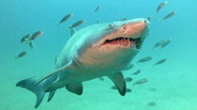 El tiburón gris