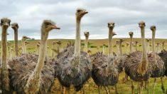 El avestruz es el ave con mayor tamaño en todo el planeta