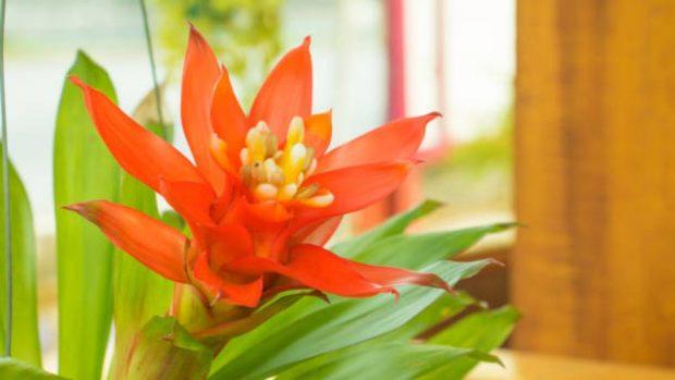 cultivar y cuidar una guzmania