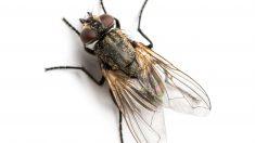 El combate contra las moscas en el verano