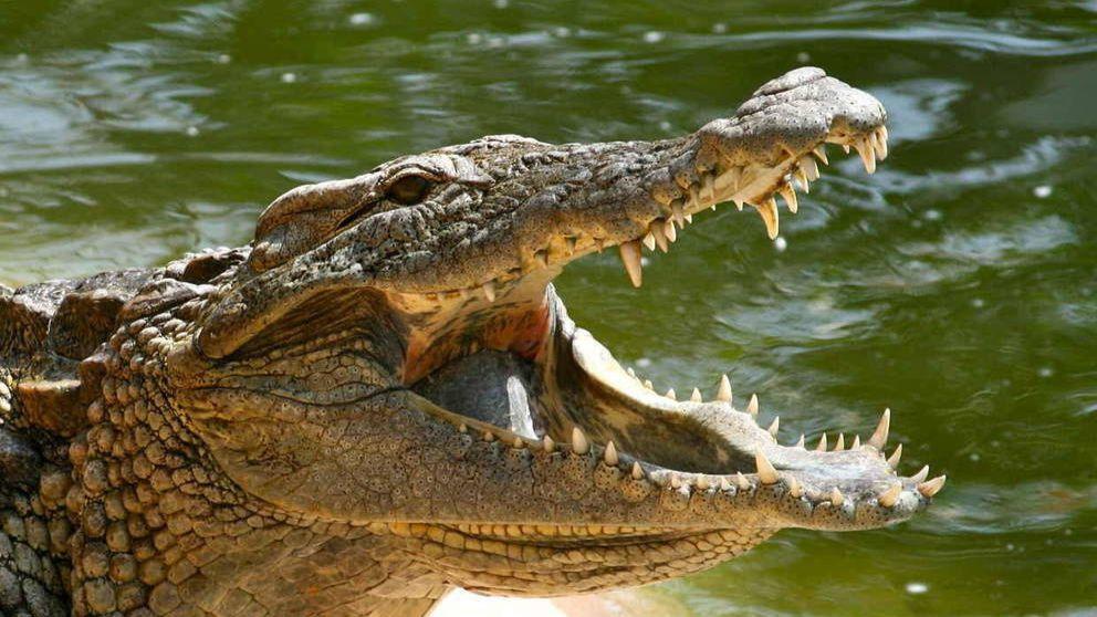 Descubre cuántos dientes tiene un cocodrilo