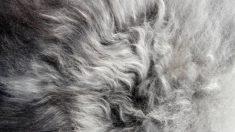 Paso para limpiar una alfombra de pelo largo