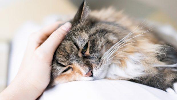 Transmisión del SIDA felino