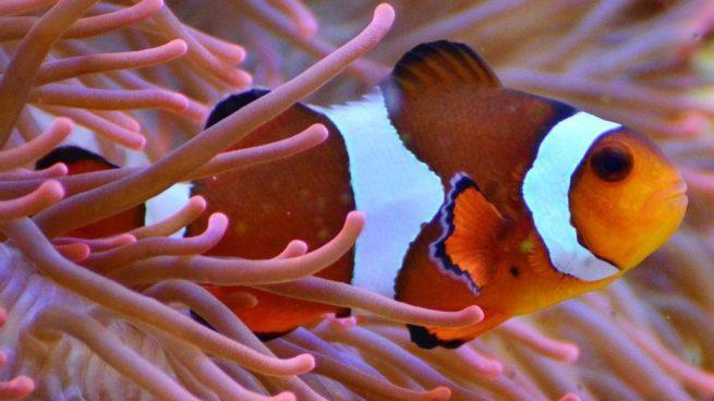 parásito pez payaso en la boca