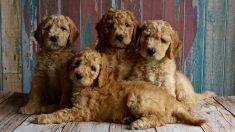 Tras nacer sus cachorros, la perra requiere una alimentación especial