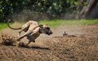 Razas de perros rápidos