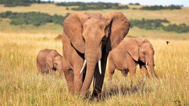 Alimentación elefante