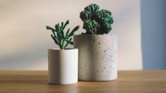 Los cactus son ideales para decorar espacios de trabajo