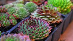 Las plantas suculentas o crasas son muy resistentes