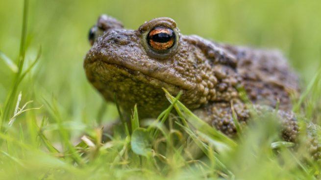 iferencias hay entre sapos y ranas