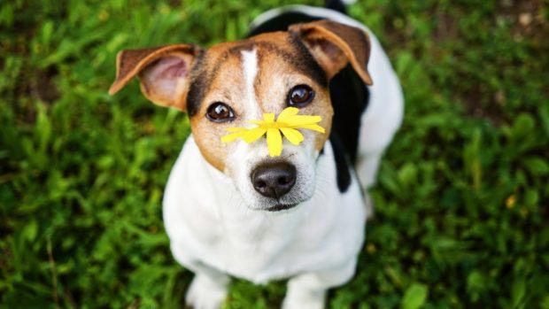 Alergia primaveral en perro