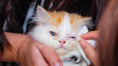 Aprende cómo limpiar los ojos del gato