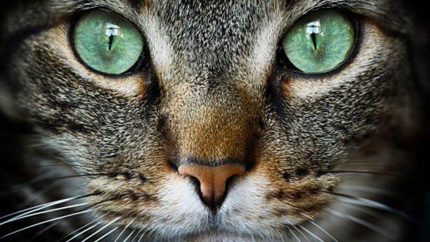 como limpiar los ojos del gato