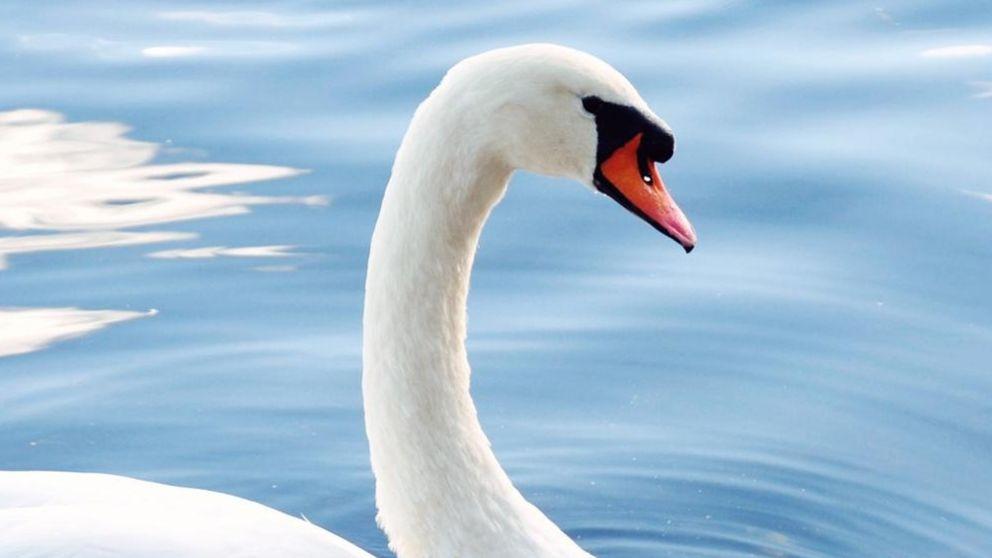 Curiosidades de los cisnes