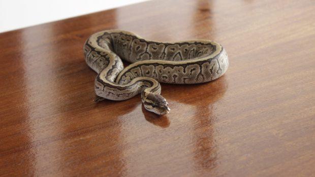 Serpiente como mascota