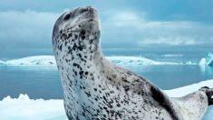 Curiosidades de la foca leopardo