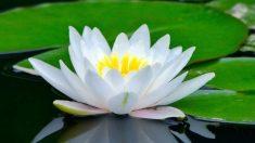 Flor de loto: ¿cómo es y cuál es su significado?