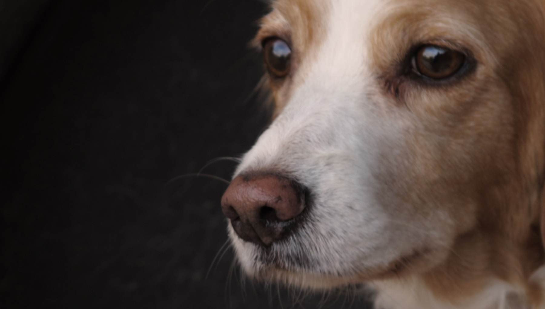 Perro tiene la nariz blanca