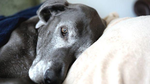 Perro anciano coja el sueño