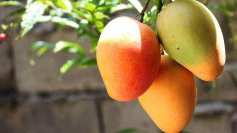 Todos los pasos para cultivar mango a partir de la semilla