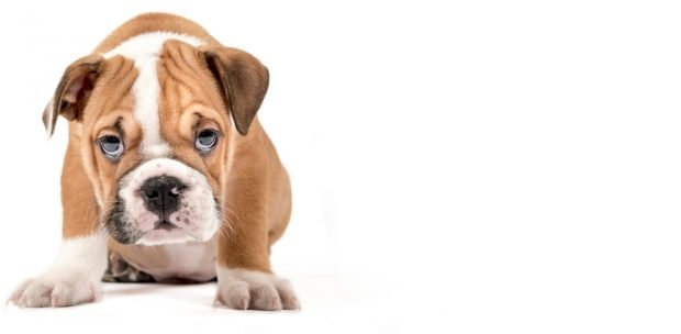 La anafilaxia en perros