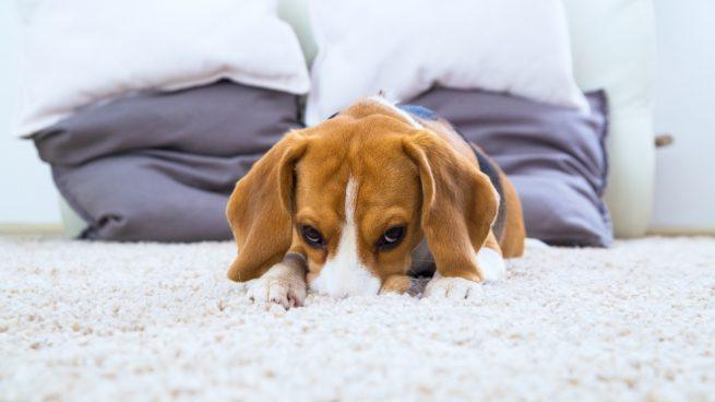 Anafilaxia en perros