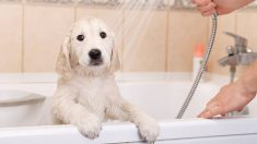 Aprende cómo bañar a un cachorro de forma correcta
