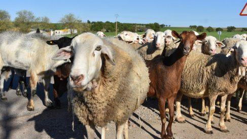¿En qué se diferencia la cría de ovejas y cabras?