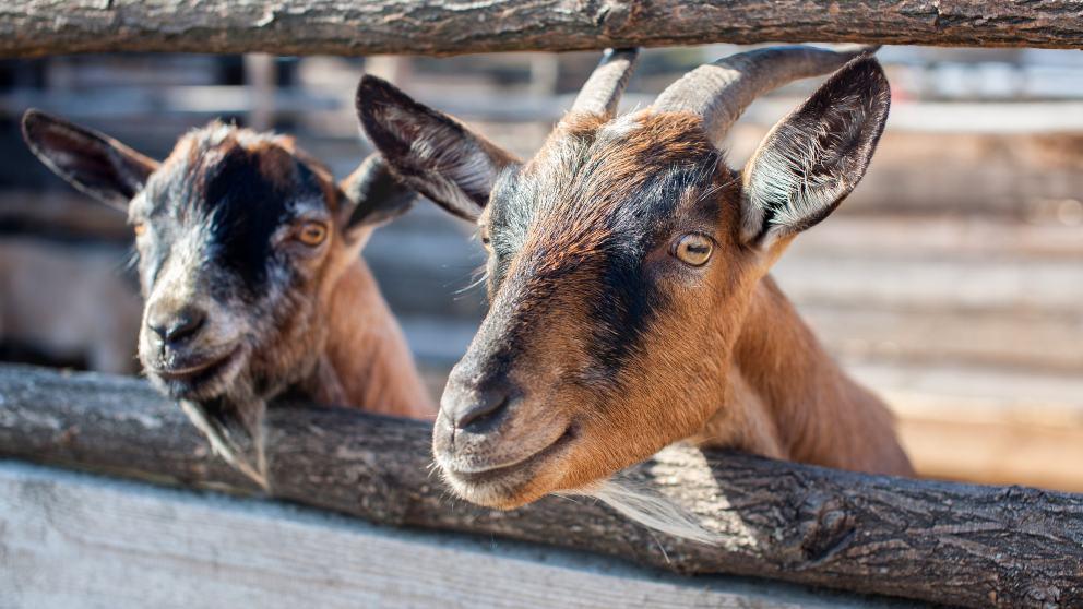 Varias cabras toman las calles y los tejados de un pueblo de Sevilla
