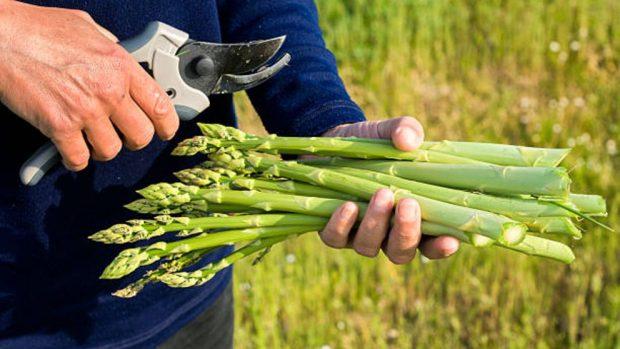 como cultivar espárragos