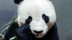 Descubre cómo son los osos panda y cómo se comportan