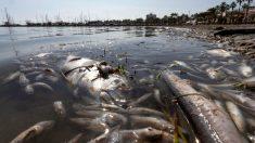 Peces muertos en San Pedro del Pinatar