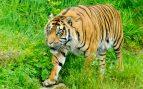 Tigres en el mundo