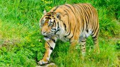 Foto de archivo de un tigre
