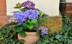 cuidar hortensias azules