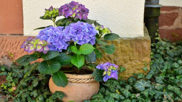 Cómo conseguir que las hortensias tengan un color azul