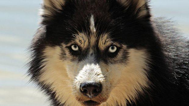 Colores en los ojos de los perros