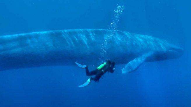 Curiosidades de la ballena azul que debes saber