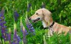 Cualidades del perro saluki