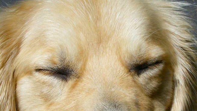 Perro ojo seco