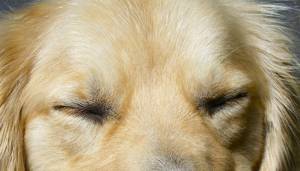 Ojo seco en mascotas