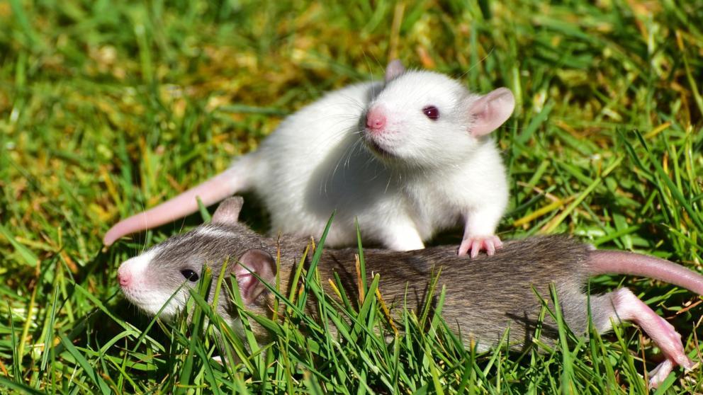 síntomas de parásitos de rata mascota