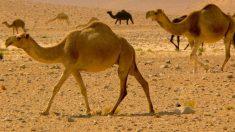 En qué se diferencian el camello y el dromedario